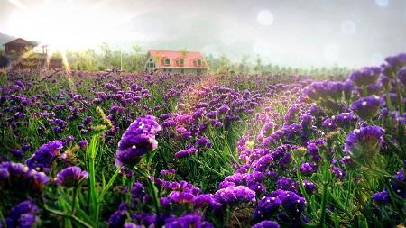 美丽的薰衣草
