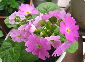 粉色樱草花