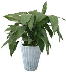一叶兰盆栽