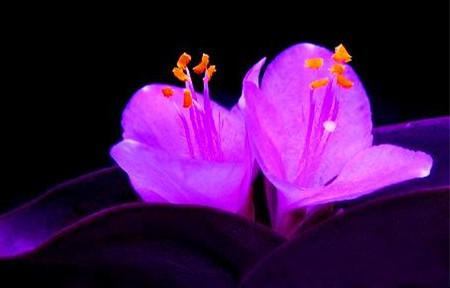 漂亮的紫竹梅