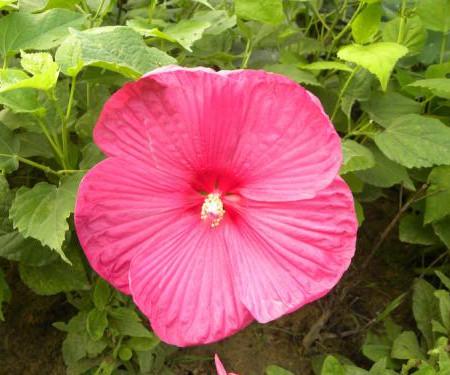 美丽的芙蓉葵