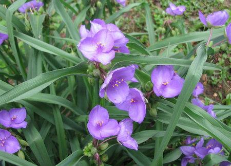 美丽的紫露草