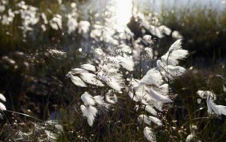可爱的羊胡子草