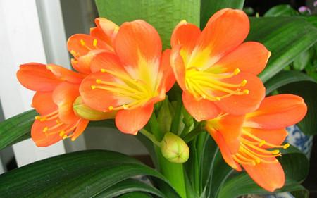 君子兰花朵