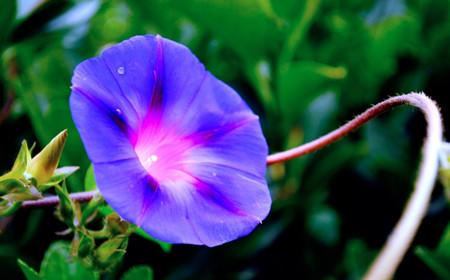 紫色牵牛花