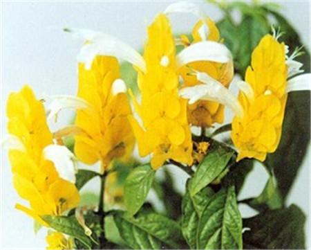 美丽的金苞花