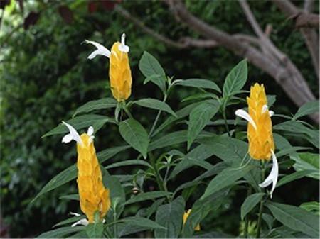 漂亮的金苞花