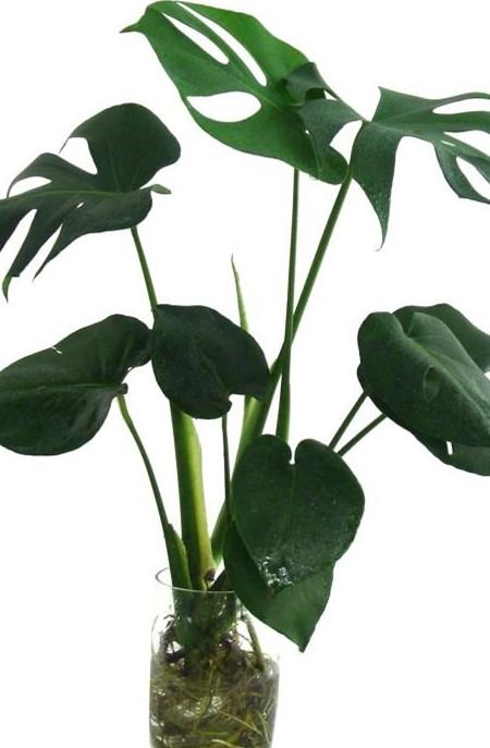 龟背竹叶子