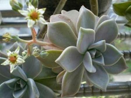 漂亮的石莲花
