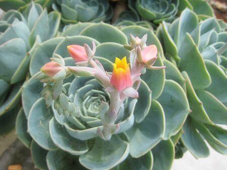 美丽的石莲花