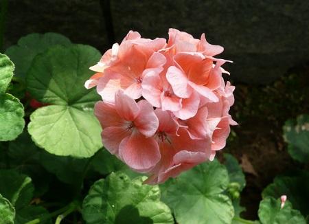 美丽的天竺葵