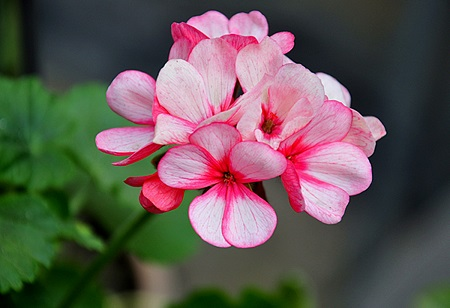 漂亮的天竺葵