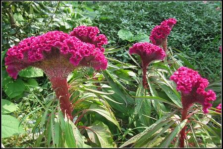 美丽的鸡冠花