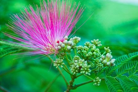 美丽的合欢花