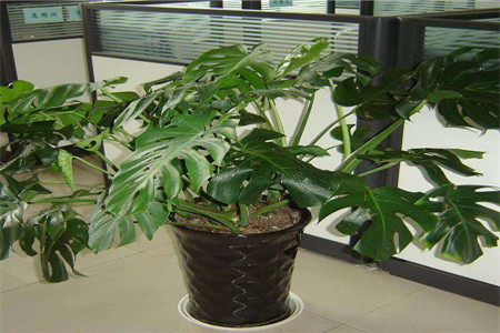 美丽的龟背竹