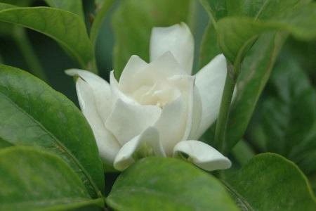 漂亮的大叶栀子花