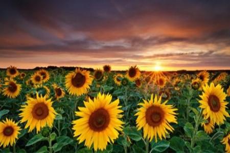 漂亮的向日葵