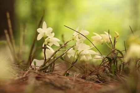 美丽的霍山石斛