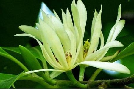 美丽的白兰花