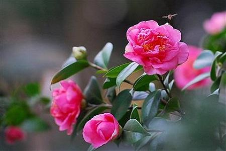 美丽的茶花