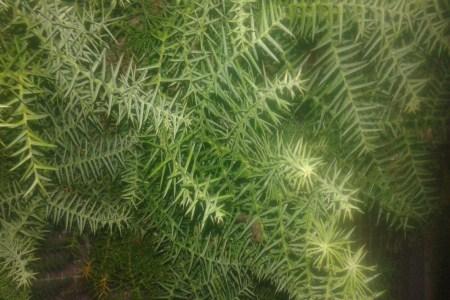 漂亮的红豆杉