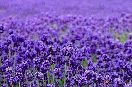 紫罗兰花海