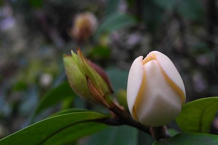 漂亮的含笑花