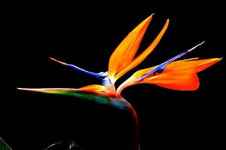 美丽的鹤望兰