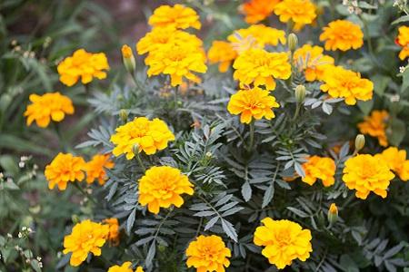 美丽的金盏菊