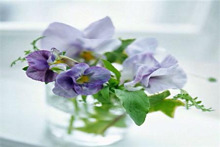 美丽的紫罗兰