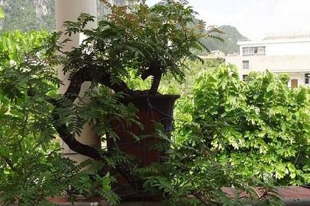 美丽的清香木