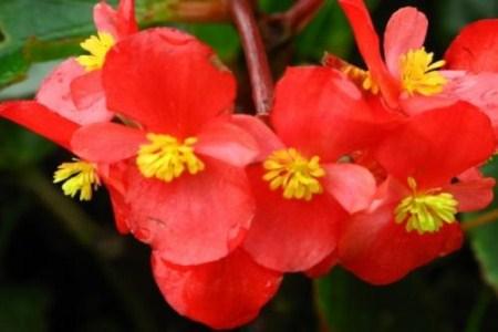 漂亮的四季海棠