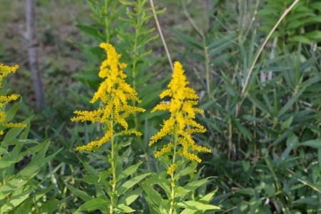 漂亮的一枝黄花