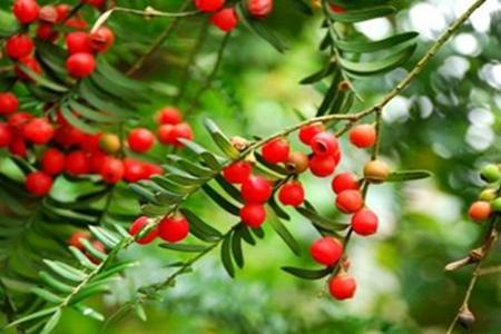 美丽的红豆树