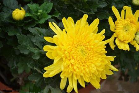 好看的菊花