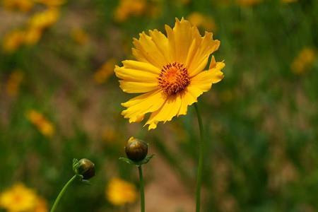 好看的金鸡菊