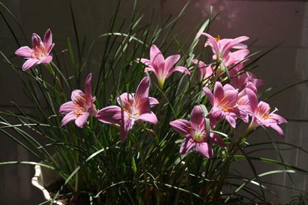 风雨兰花朵