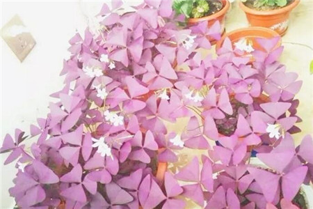 紫叶酢(cù)浆草