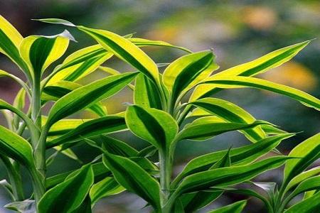 金边富贵竹