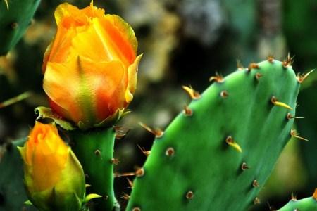 开花的仙人掌