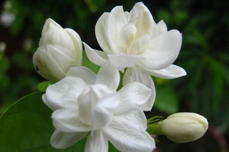 大叶栀子花