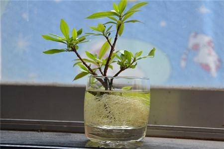 水培栀子花
