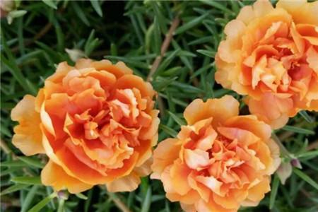 宿根橙重瓣