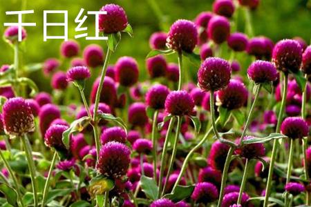 千日红花花语图片