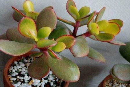 厚脸皮植物