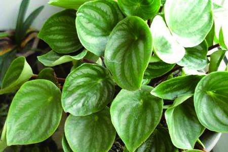 西瓜皮椒草