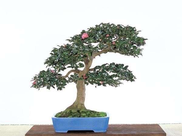 茶花盆景图片