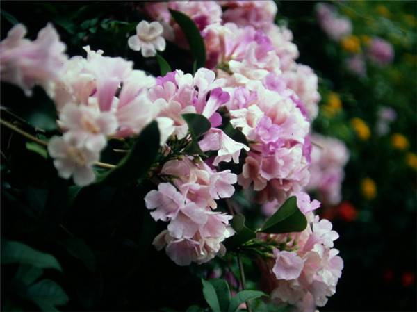 淡粉色蒜香藤