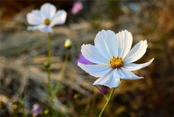 纯洁美好的白色波斯菊