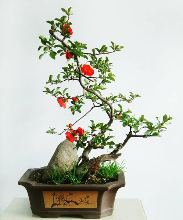 茶花盆景-山茶花开,知春来